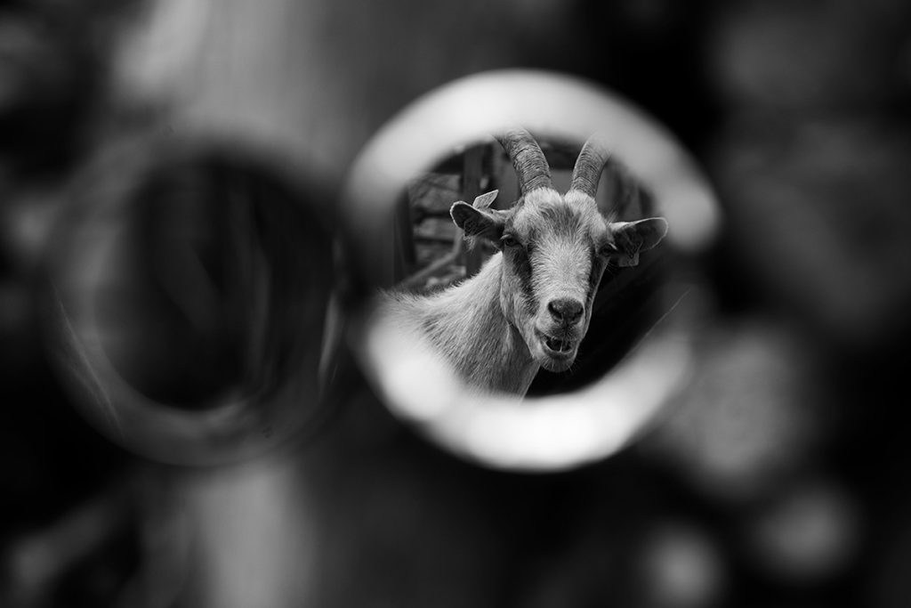 Blaž Janežič photography Royal goats 156