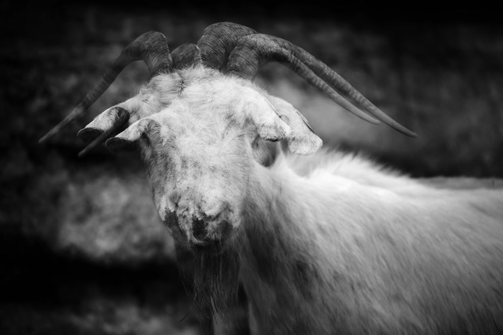 Blaž Janežič photography Royal goats 306