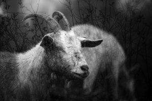 blaz_janezic_royal-goats_318