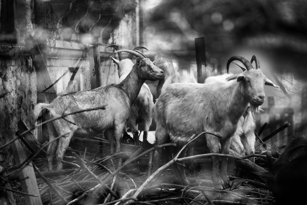 Blaž Janežič photography Royal goats 332