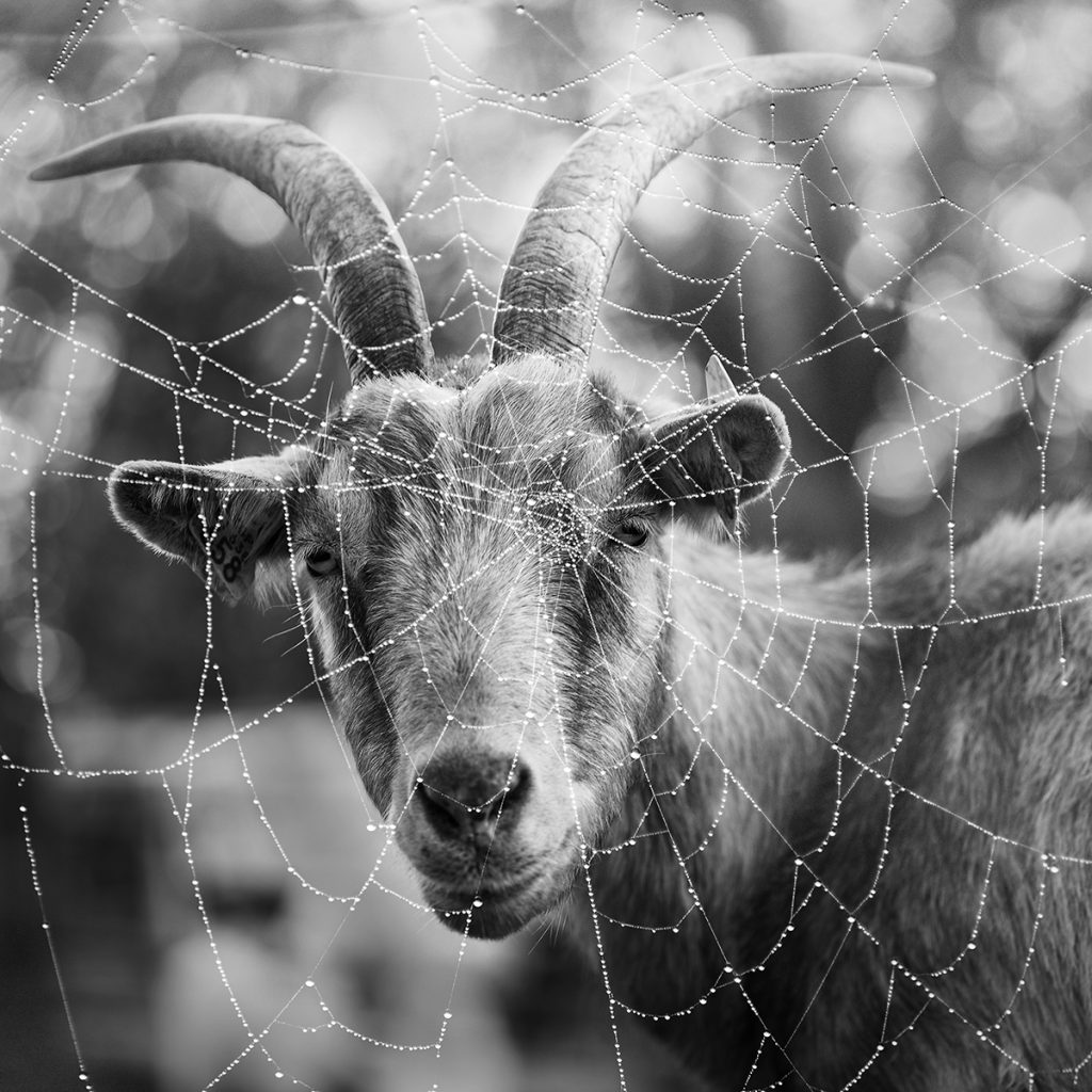 Blaž Janežič photography Royal goats66