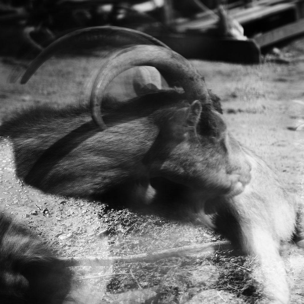 Blaž Janežič photography Royal goats 97