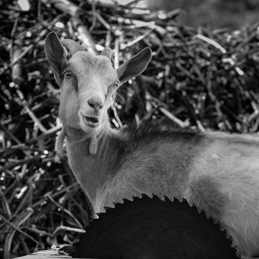 Blaž Janežič photography Royal goats 99
